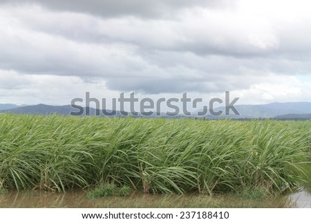 cane field on cloudy day - stock photo