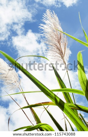 Cane flower in the blue sky