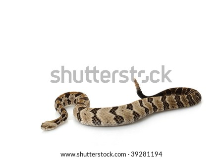 Canebrake rattlesnake (Crotalus horridus) isolated on white background