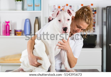 Canine hairdresser in a beauty clinic with Dogo Argentino