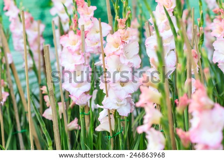 Canna flower,colorful flower field in winter - stock photo