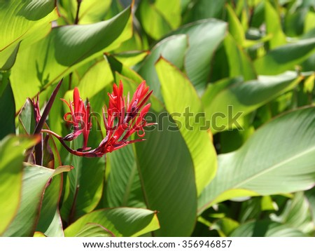 Canna indica henna plant flower and leaf
