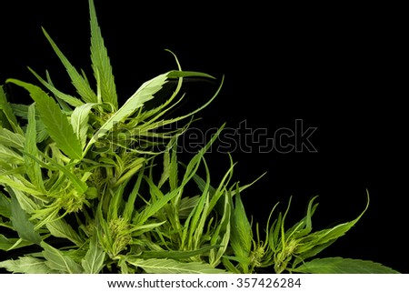 Cannabis background with copy space. Marijuana leaves and buds on black background top view. Alternative medicine.  - stock photo