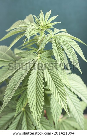 cannabis bloom, vertical photo - stock photo