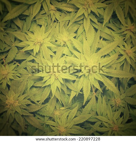 Cannabis cultivation - stock photo