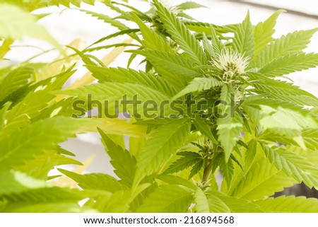 cannabis flower blooming with natural sun light, abstract nature - stock photo