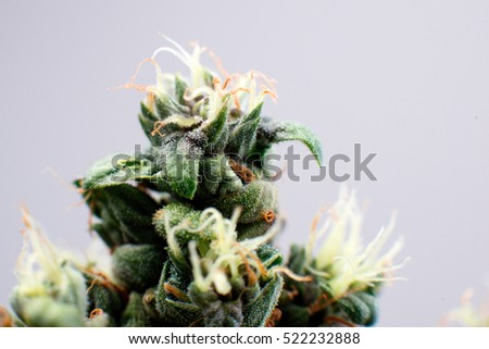 cannabis flower plants bud, close-up and maturing of trichomes