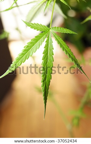 Cannabis home grow - stock photo