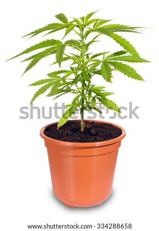 cannabis in flower pot isolated on white background