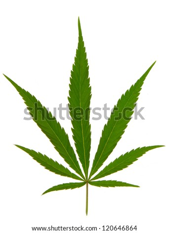 Cannabis leaf isolated on white - stock photo