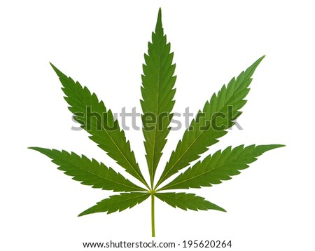 Cannabis leaf, marijuana leaf isolated on white - stock photo