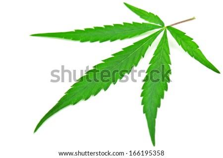 cannabis leaf on white - stock photo