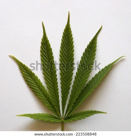 cannabis leaf on white background with light shadow.