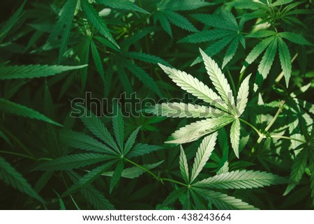 Cannabis leaf, top view, background image or wallpaper