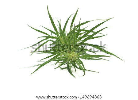 Cannabis leaves isolated on white