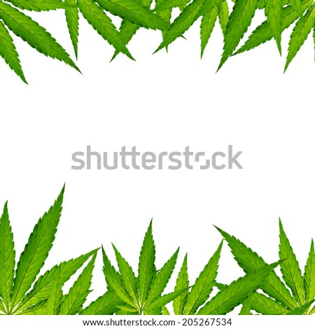 Cannabis leaves, marijuana, close-up. - stock photo
