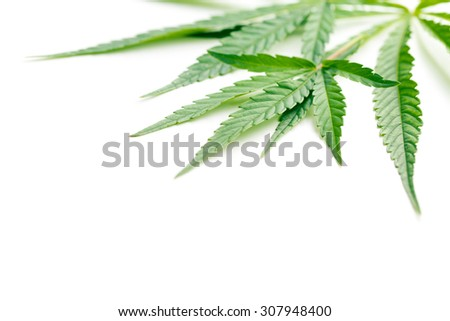 cannabis leaves on white background - stock photo