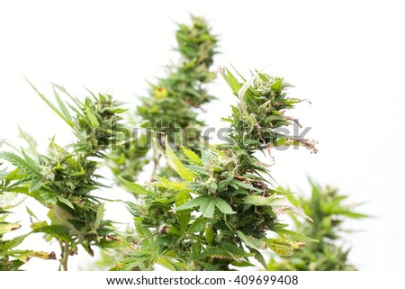Cannabis (marijuana) - Better Health Channel, Detail of Cannabis resin covering the flowerheads - stock photo