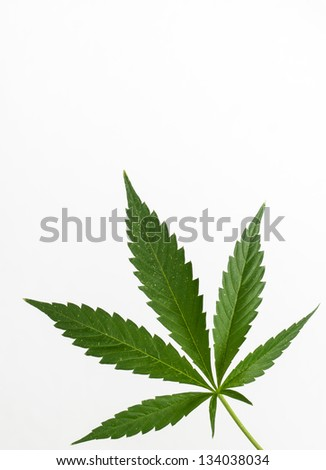 Cannabis (marijuana) plant detail - stock photo