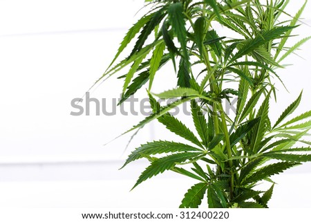Cannabis on a white background - stock photo