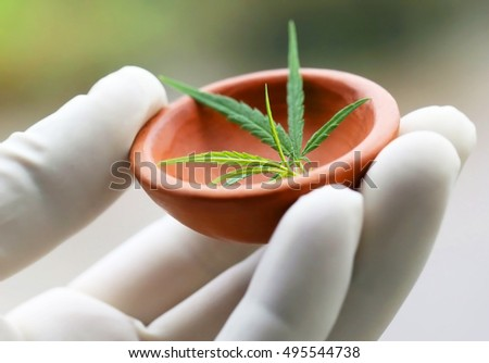 Cannabis or marijuana leaves holding by hand in a pottery wearing protecting glove