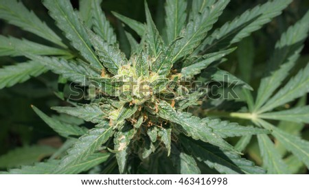 Cannabis plant and buds