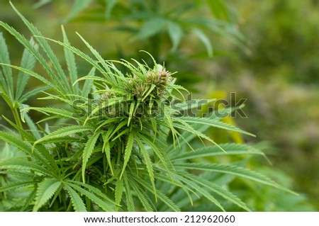 Cannabis plant at early flowering stage - stock photo