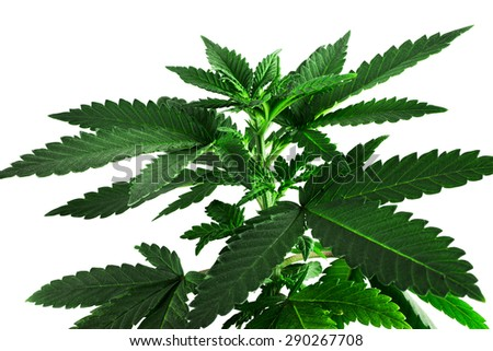 cannabis plant close up
