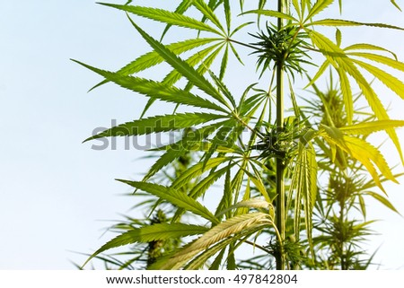 Cannabis plant grow in field