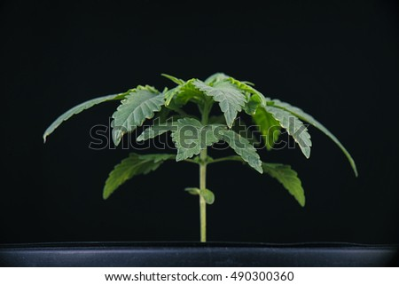 Cannabis plant growing isolated against black background