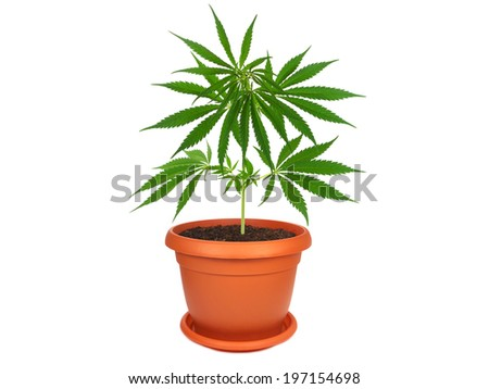 Cannabis plant in a pot isolated on white - stock photo