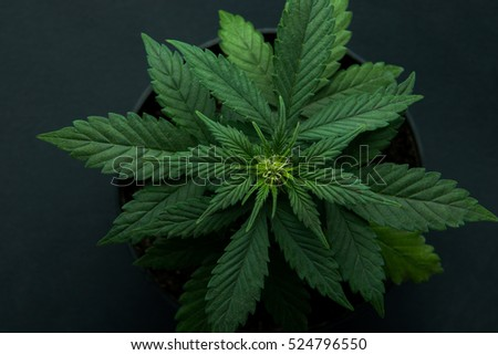 cannabis plant on a black background, marijuana plants, a top view.