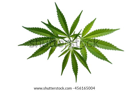 cannabis plant on the white background.