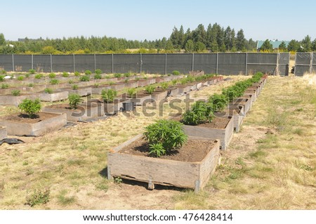 Cannabis plants on a commercial farm in Washington