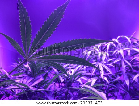 Cannabis Sativa Plants in Purple Light