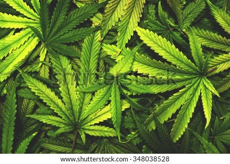 Cannabis Texture Marijuana Leaf Pile Background with Flat Vintage Style  - stock photo