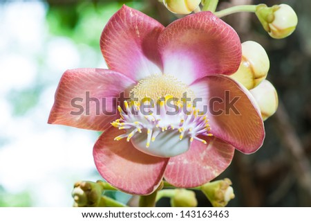 Cannonball tree bloom in the park