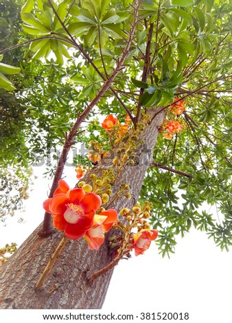 Cannonball tree,Couroupita guianensis Aubl.