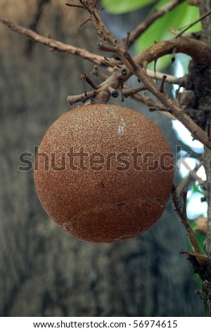 Cannonball Tree seedpod, Mumbai (formerly Bombay), India.  The tree 'Couroupita guianensis' is associated by Hindus with the god Shiva and is often planted around temples. - stock photo