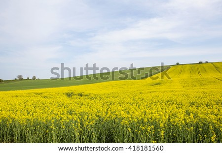 Canola Crop. Late spring, early summer is the time the canola crop comes into its spectacular showing. The yellow of the flower burst onto the countryside is swathes of colour.
