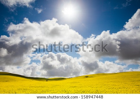 Canola field in the Mid North, South Australia - stock photo