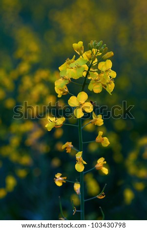 Canola field, yellow rapeseed flowers, rapeseed with fly - stock photo