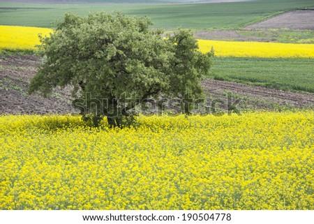 canola fields and tree - stock photo