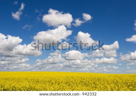 Canola fields, blue sky and puffy clouds - stock photo