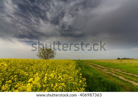 Canola fields in remote rural area, lonely tree and dirt country road