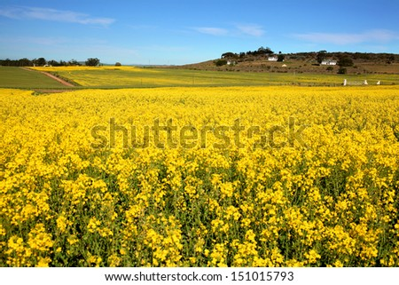 Canola fields of the Overberg region South Africa.