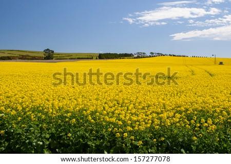Canola fields shine on a clear sunny day near Creswick in the Victorian goldfields, Australia - stock photo