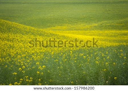 Canola fields under a summer clouds in Washington State - stock photo