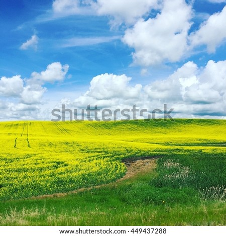 Canola fields.  Yellow canola flowers with blue sky and white clouds background.  Instagram effects.
