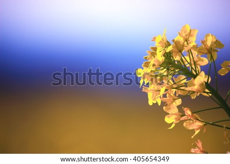 Canola flower, Yellow and Blue Bokeh